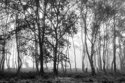 Misty Birches Bergerheide