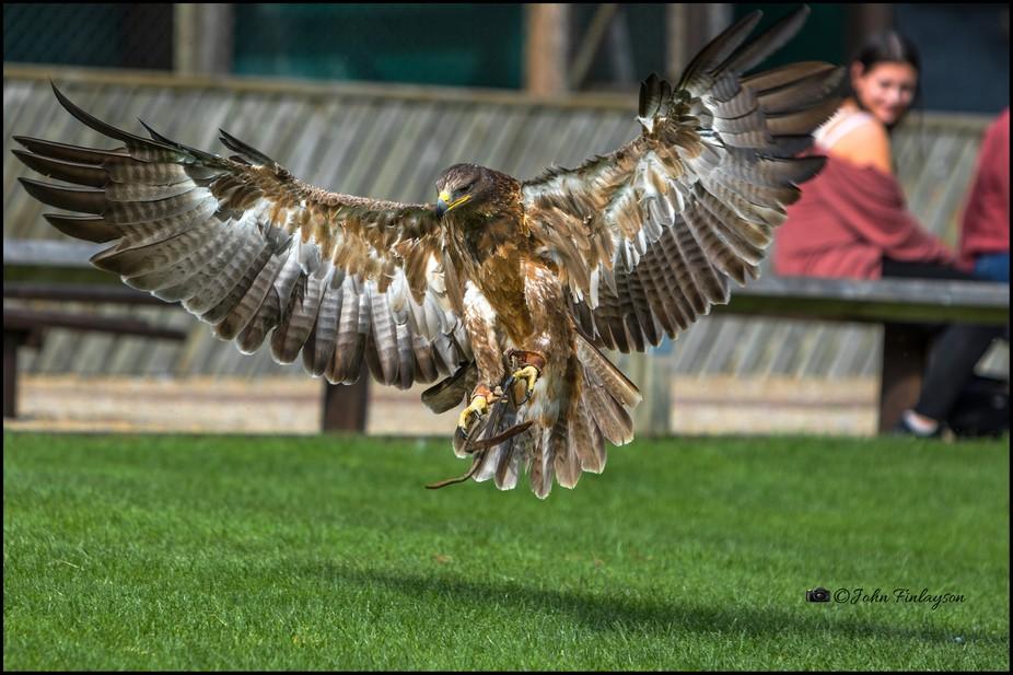 Golden Eagle landing, Thirsk Birds of Prey Centre