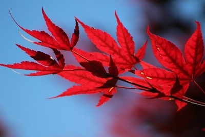 Torch Red Japanese Maple Leaves on Malibu Blue