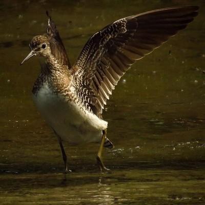 Solitary Sandpiper strutting its stuff.  #trailsend #solitarysandpiper #birding #birdwatching #birdphotography #wetlands #outthebackdoor #backyardnature #canon_photos #canonphotography #pocket_birds #raw_birds ##bird_brilliance #best_birds_of_world #mybir
