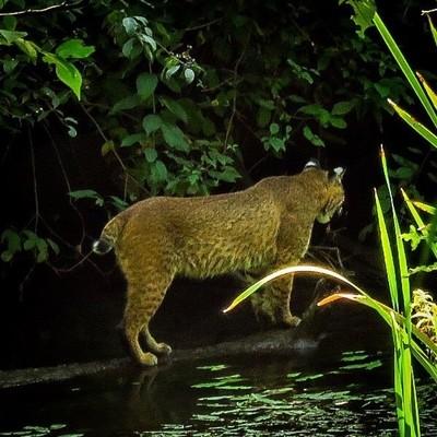 Bobcat crossing the brook.  #trailsend #bobcat #wildlife #wildlifephotography #wander #wetlands #outthebackdoor #backyardnature #canon_photos #canonphotography #got_greatshots #ig_animals #naturyst #naturalnewyork #adkphotoclub #zonephotographer #planetun