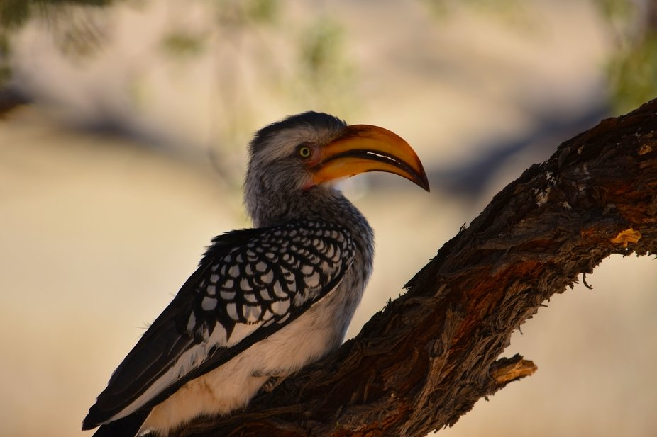Yellow billed Hornbills are very inquisitive.   During a recent visit to Namibia, I became accust...