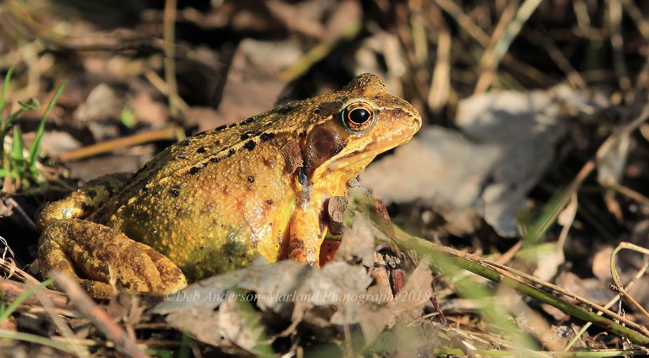 Common Toad. Spotted this little fella in the undergrowth whilst out walking at Gates Barrow. Cou...