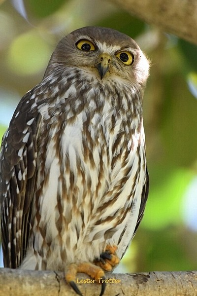 We Meet Again My Friend, So Pleased To See You,Barking Owl,Townsville,Queensland,Australia
