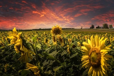 Vivid Sunset on a Sunflower Field