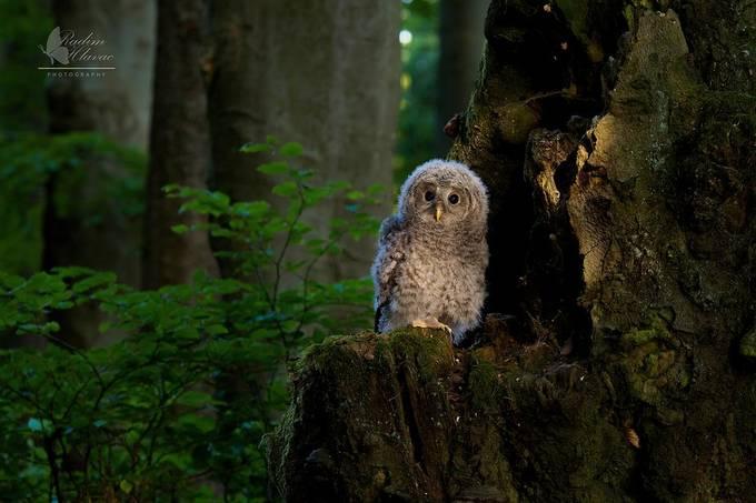P5261305 by Radimecek13 - Beautiful Owls Photo Contest