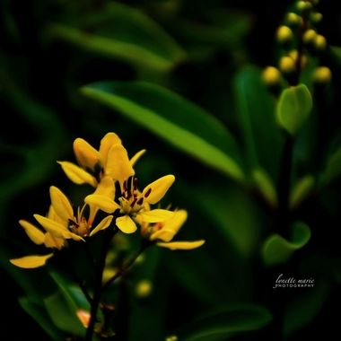 Yellow Blossoms in the Evening