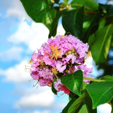 Crepe Myrtle in the Sky