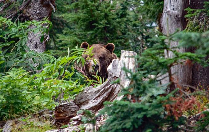 Grizzly Bear by JoAnneRobbinsSmith - The Natural Planet Photo Contest