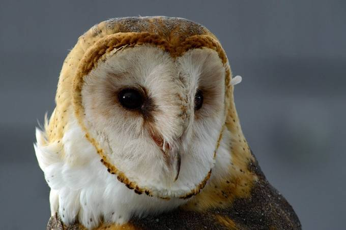 Barn Owl by JoAnneRobbinsSmith - Monthly Pro Photo Contest Vol 45