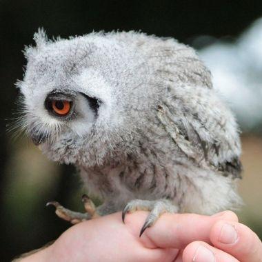 Baby Eagle Owl