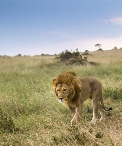 Masai Mara King