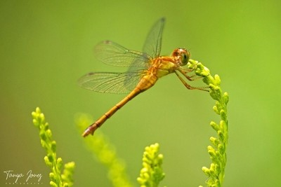 Fall Dragonfly