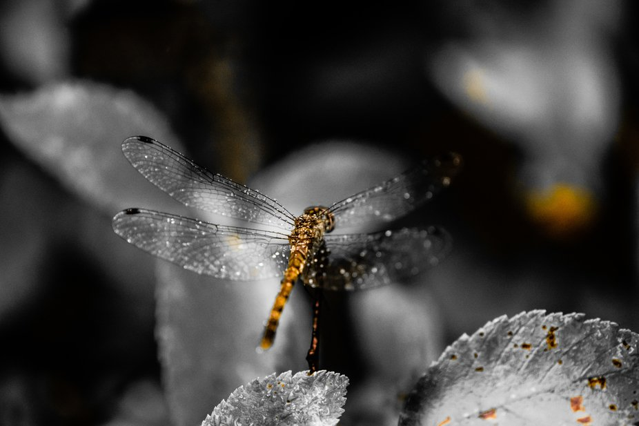 Dragon Fly N' Drizzle 2