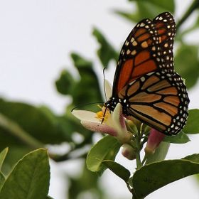 gathering nectar from a Grapefruit tree flower