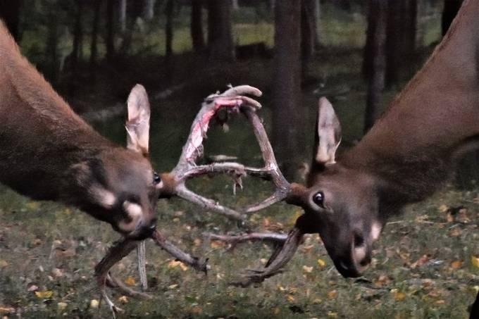 Young bull elk in velvet in pushing match