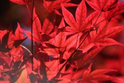 Venetian Red Japanese Maple Leaves