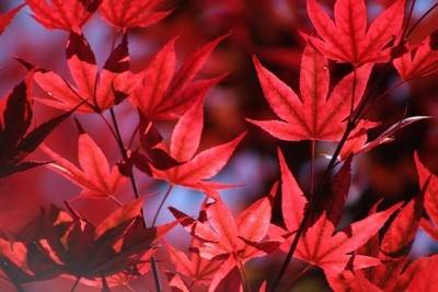 Sangria Red Japanese Maple Leaves on Ce Soir