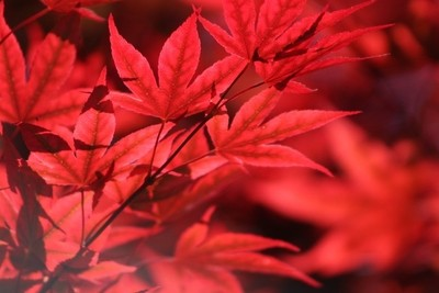 Japanese Maple Leaves in Sangria Red