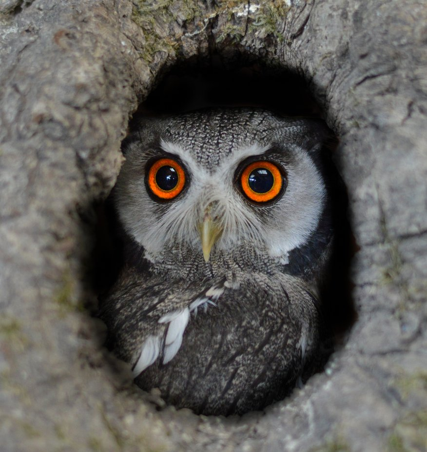 Southern White Faced Owl by chloemclellan - Beautiful Owls Photo Contest