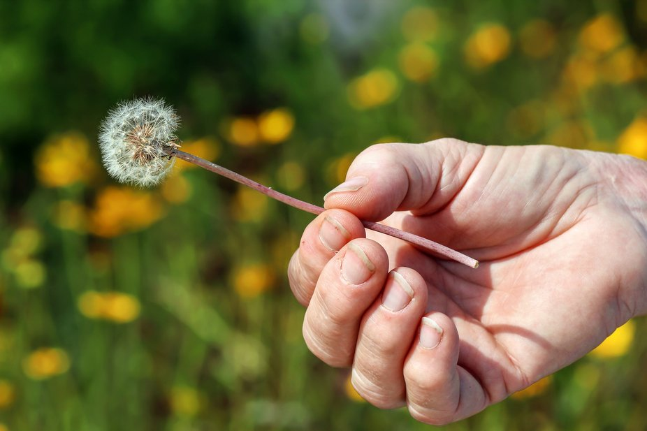 My mom holding a dandelion.