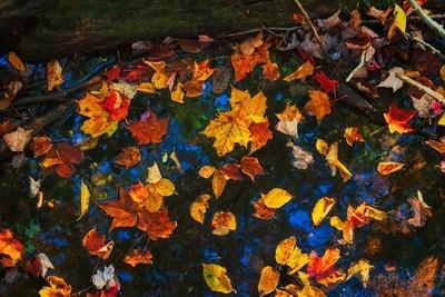 Fallen leaves on water