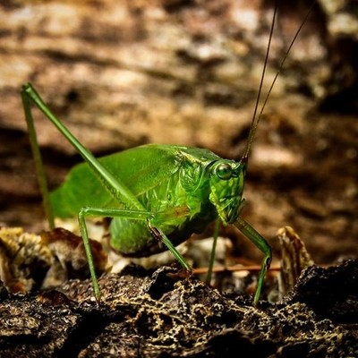 Katydid closeup.  #trailsend #katydid #insects #macro #insectphotography #macrophotography #outthebackdoor #backyardnature #canon_photos #canonphotography #canonwhatelse #pocket_insects #raw_insects #naturyst #naturalnewyork #lensloves_nature #magic_shots