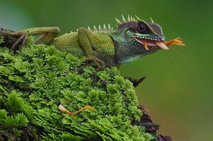 Acanthosaura Nataliae by tnphto - Reptiles Photo Contest