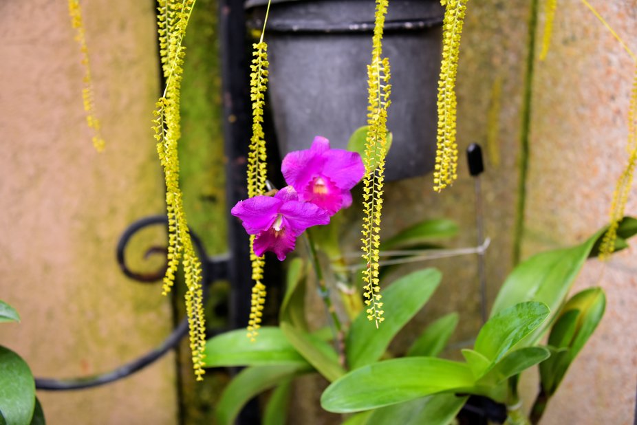 Pretty orchids taken at Longwood Gardens in the Conservatory.
