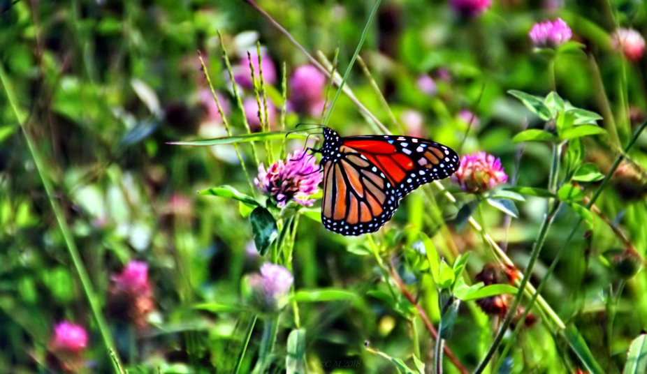 shot of a Monarch butterfly in a field of flowers.