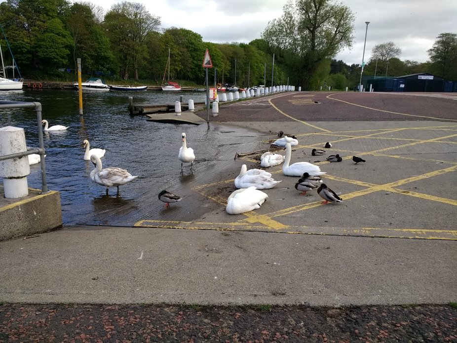 Swans chillin at the Lough Shore in Antrim Northern Ireland