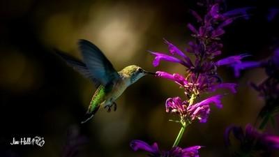 hummingbird-5631