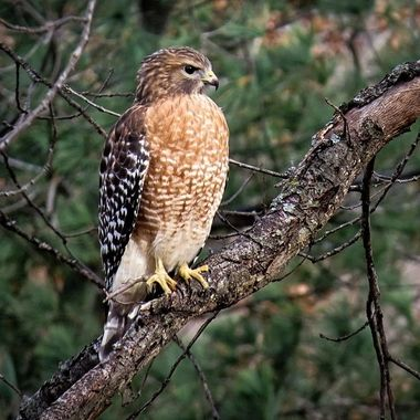 Red Shouldered Hawk on Branch