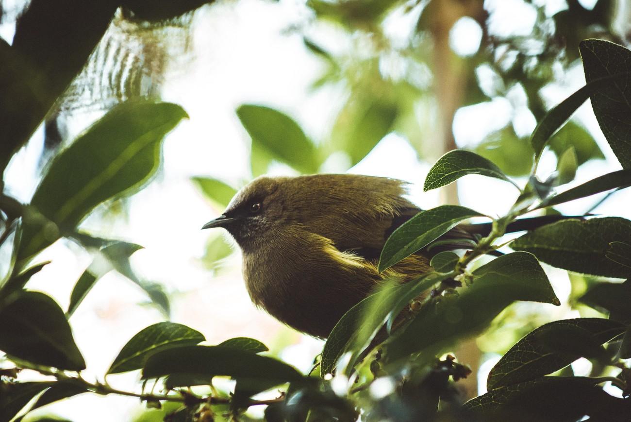 The tuneful bellbird, widespread in the New Zealand bush. Here on Ulva island, a bird sanctuary.
