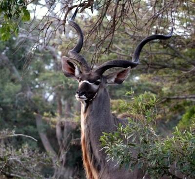 Kudu Bull.