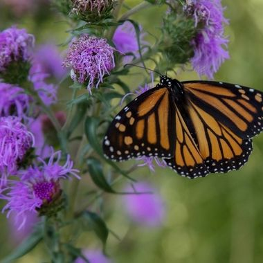 It is mid September and the Monarchs are fueling up to make their long migration.  This Monarch stopped to feast on the Eastern Blazing Star in my backyard.