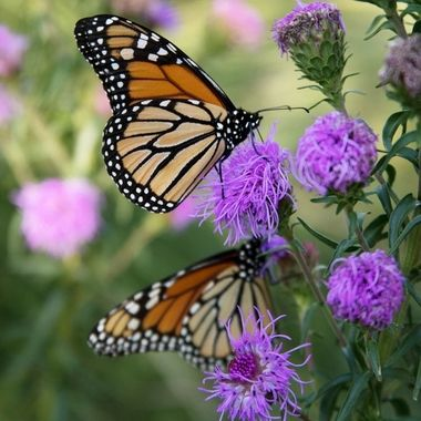These Monarchs spent the late afternoon feasting on the Eastern Blazing Star in my backyard.