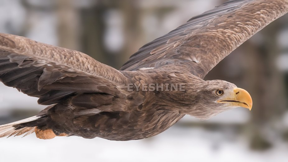 Here you see the white tailed sea eagle in flight. A gorgeous eagle species, just a little bit bi...