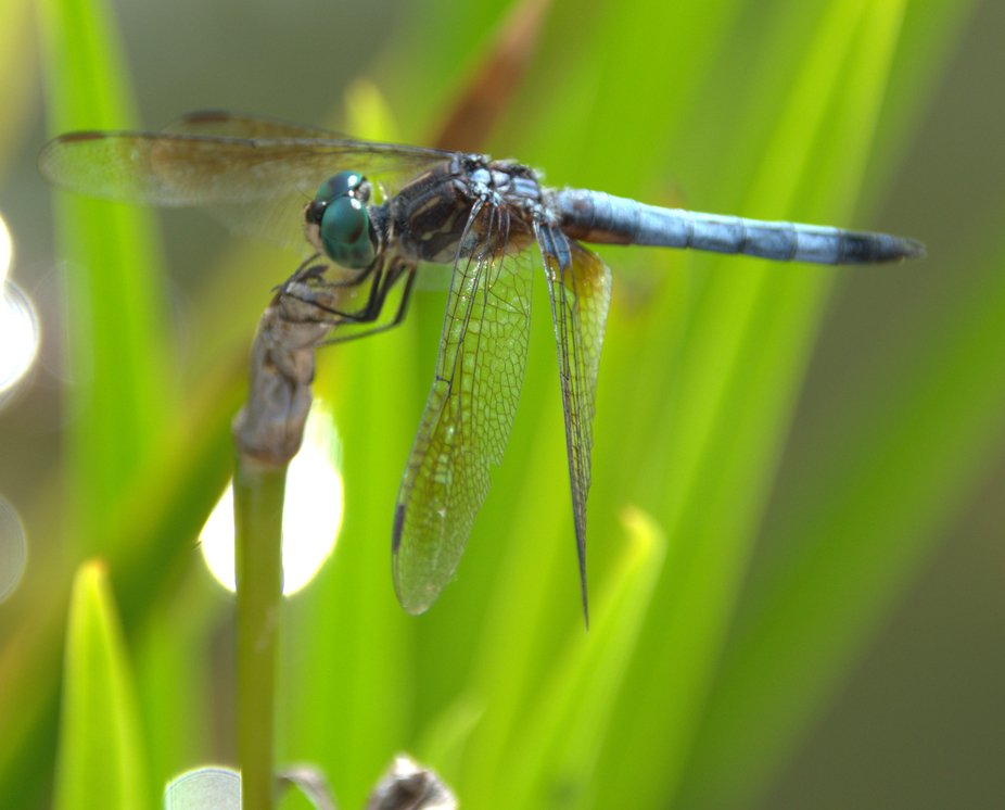 dragon fly 5