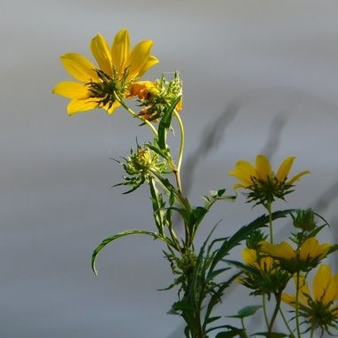 Light and Shadowing Yellow Flower along the lake