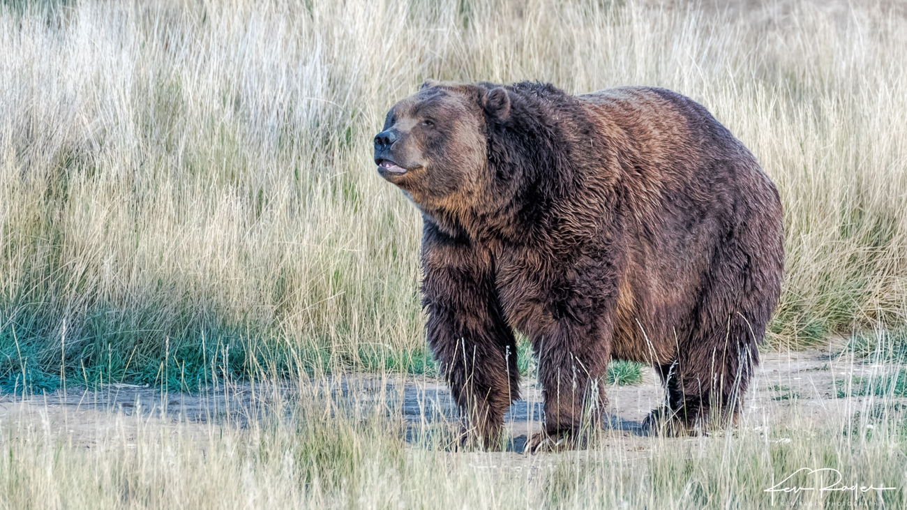 Wild Animal Sanctuary Colorado It is the largest recognized subspecies of brown bear, and one of the two largest bears alive today, the other being the polar bear.