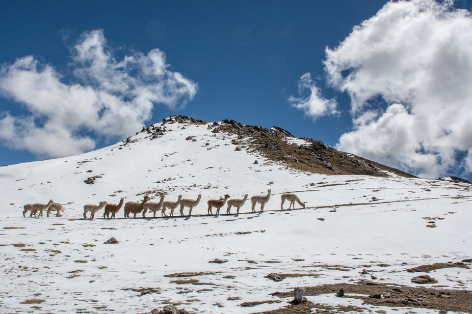 Herd of Llamas, near Palccoyo Peru