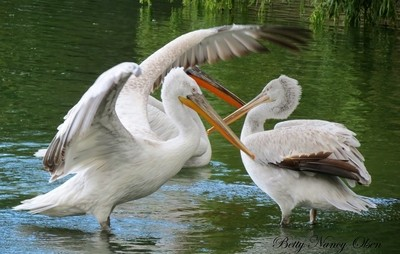 Flapping Pelican.
