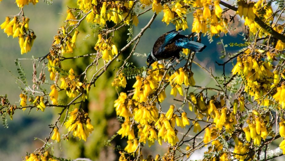 Our NZ native Kowhai tree is in full bloom and attracts dozens of singing Tui birds, native to Ne...