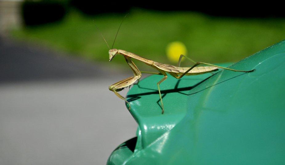 Praying Mantis sitting outside during the hot summer.