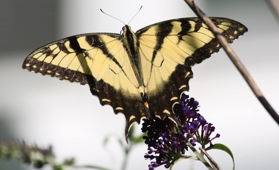Here\'s another picture of my Tiger Swallowtail Butterfly in my backyard..