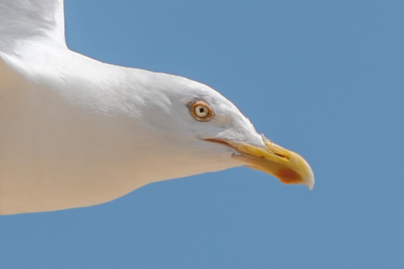 White Gull-2