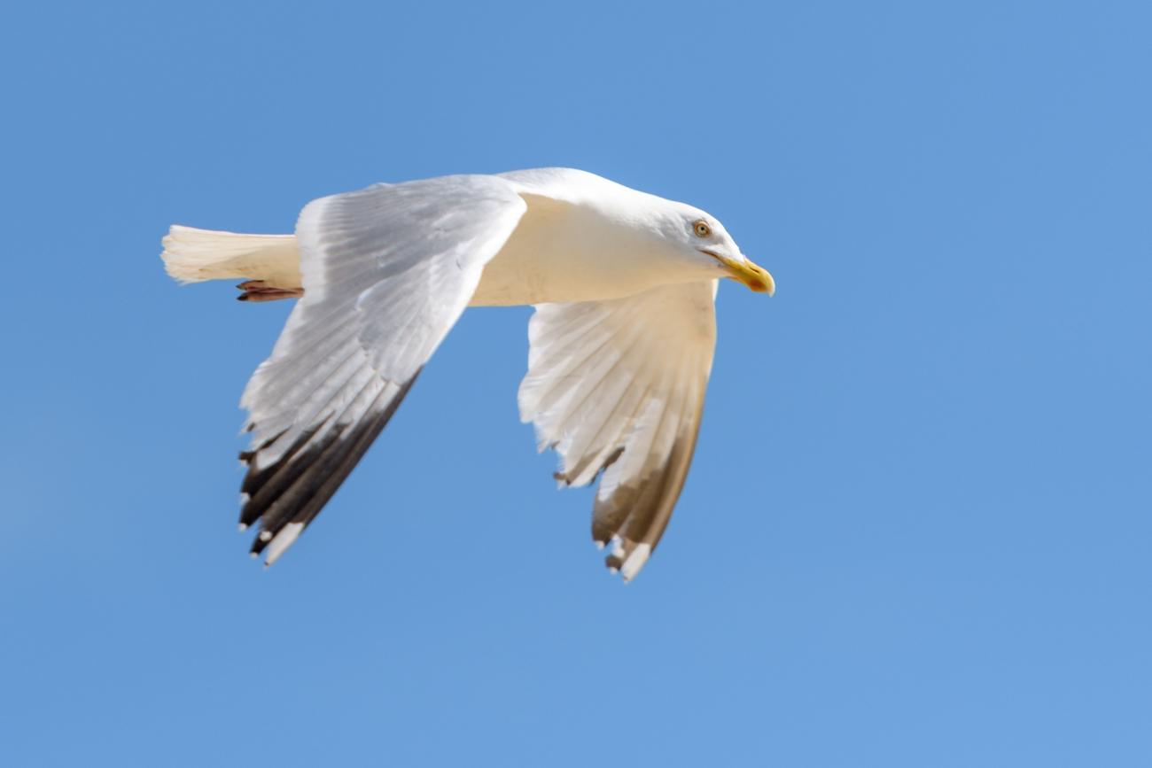 White Gull-3