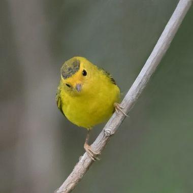 I tawt I taw a tweety bird...