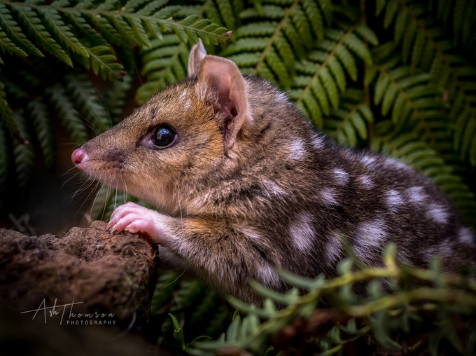 The endangered Eastern Quoll by AshThomson - Small Wildlife Photo Contest